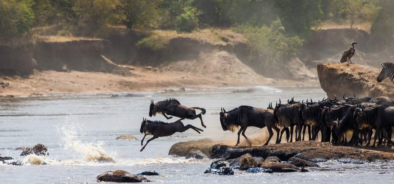 穿越肯尼亚马拉河的角马